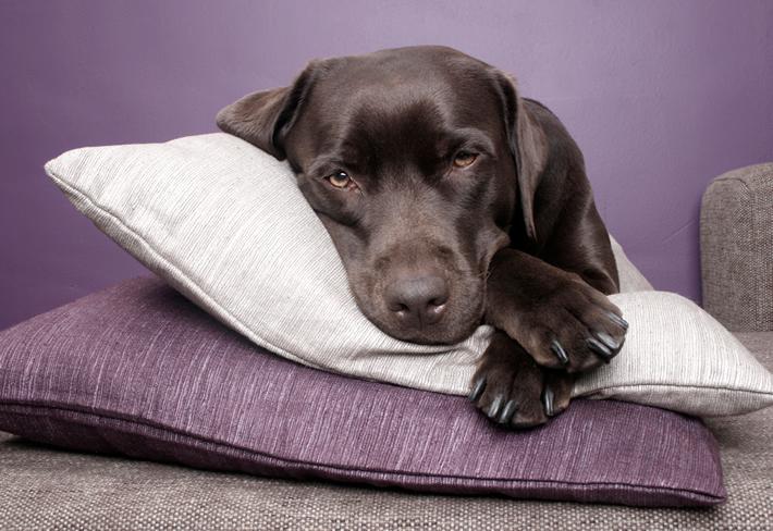 枕で寝る犬